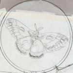 Cecropia_moth